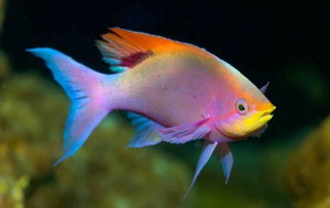 Male purple anthias, Pseudanthias tuka, Philippines, Pacific Ocean